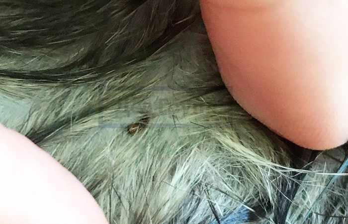 Блохи в ковре: что делать, если блохи появились через животных