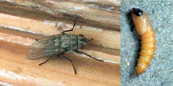 Слепень и личинка насекомого на фото