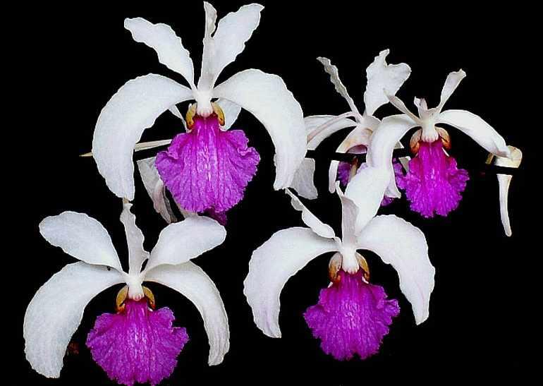 Holcoglossum-kimballianum