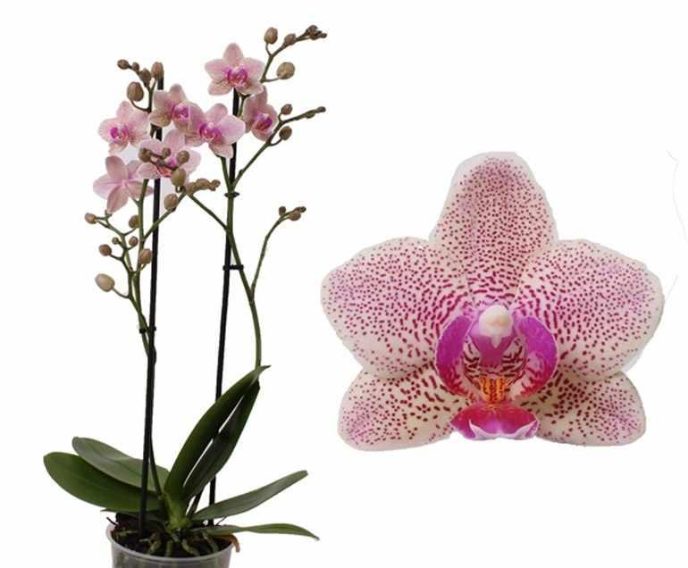 Phalaenopsis-Multiflora-Sannion