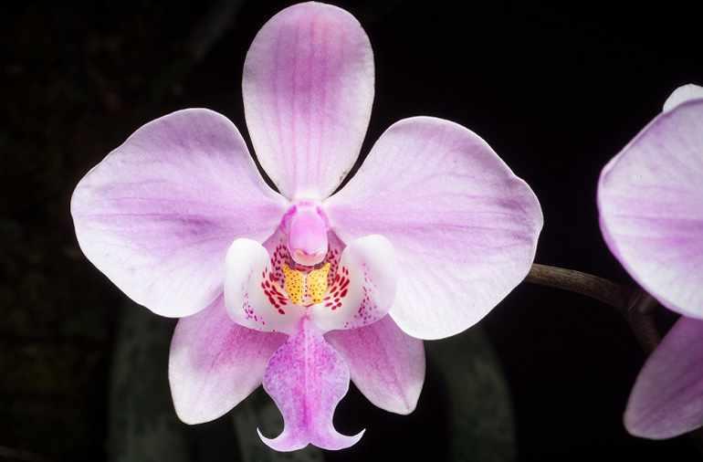 Phalaenopsis schilleriana var. Splendens