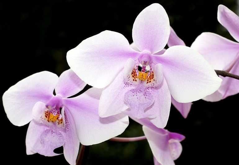 Phalaenopsis schilleriana var. Immaculate